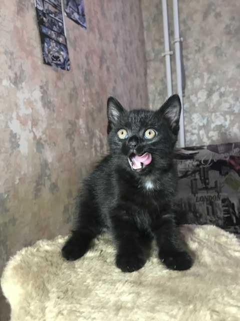 Продам: Шотландский плюшевый котенок