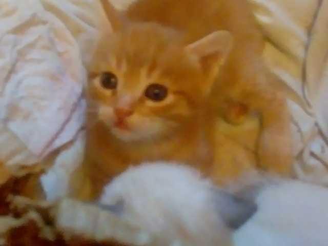 Отдам даром: Котенок сибирский отдаю