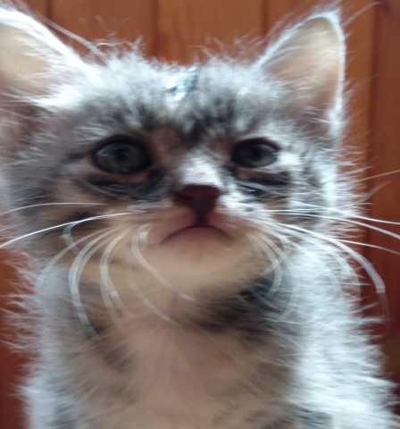 Отдам даром: Ласковая сибирская девочка 1 месяц