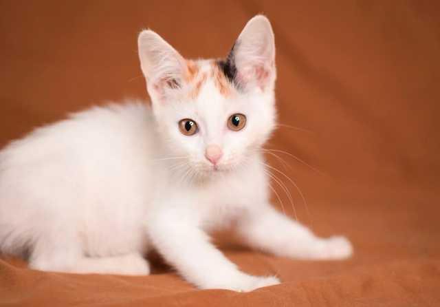 Отдам даром: Сладкая котенок Зефирка в дар