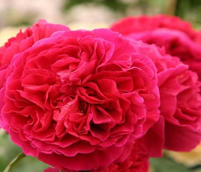 Продам: Роза английская Хитклиф