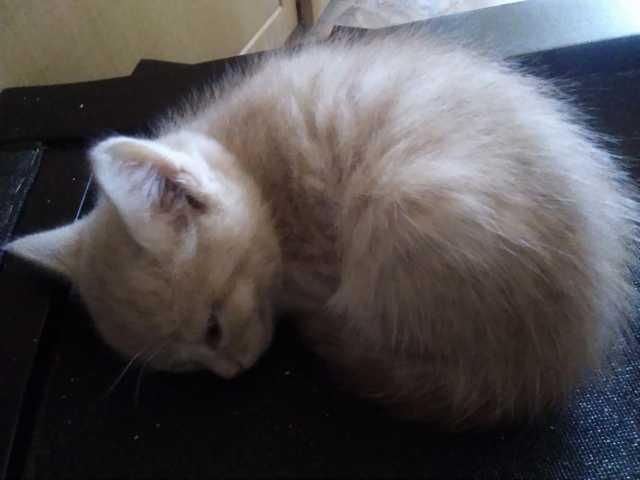 Продам: котёнок