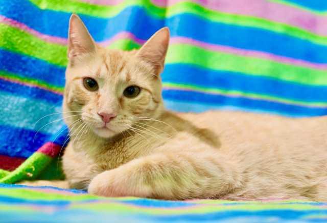 Отдам даром: Роскошный рыжий кот Кекс ищет дом