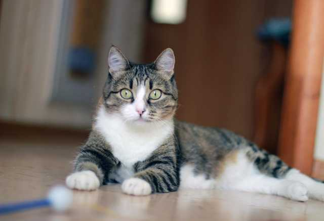 Отдам даром: Молодая полосатая кошечка Шарлиз