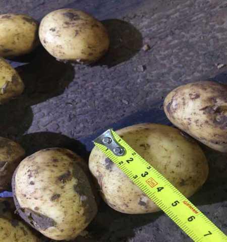 Продам: Картофель оптом от производителя