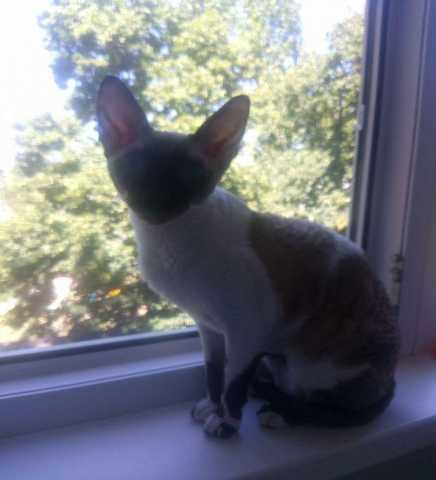 Продам: Кошка Корниш-рекс ищет для вязки кота