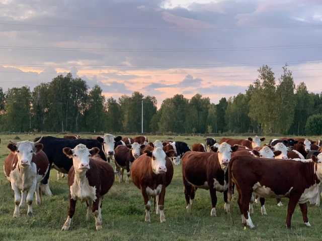 Продам: Стадо КРС породы Казахская Белоголовая