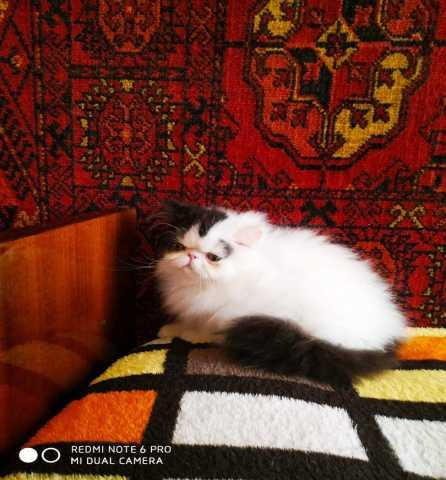 Продам: Персидский котенок