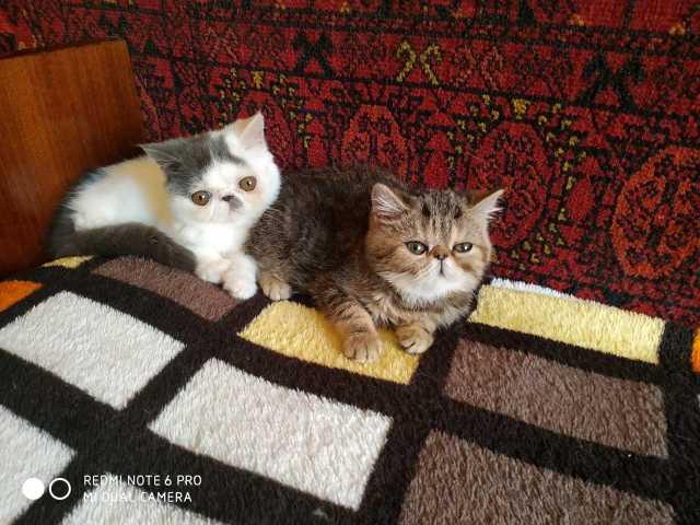 Продам: экзотические котята