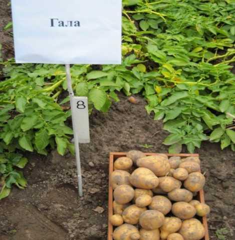 Продам: Семенной картофель Гала