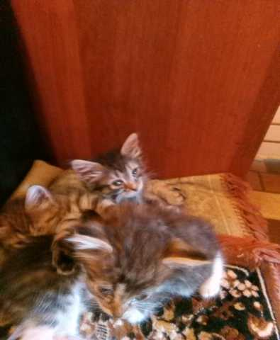 Отдам даром: котята 2 месяца в добрые руки