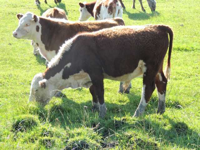 Продам Герефорд чистопородные коровы и телята