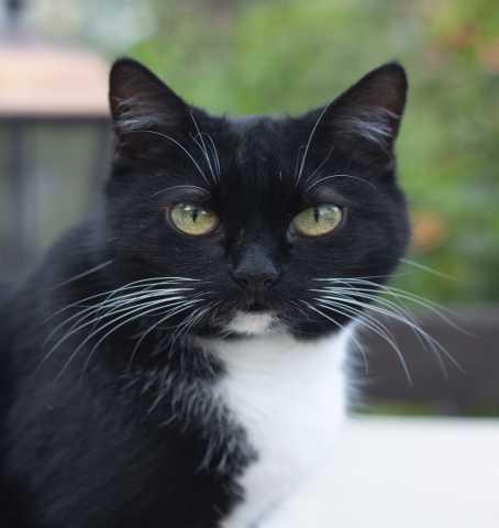 Отдам даром: Олли. Необычная маркизная кошка ищет дом