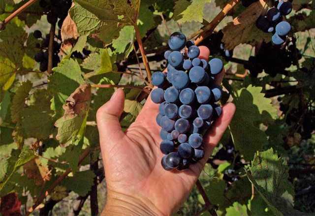 Продам: Виноград технических сортов