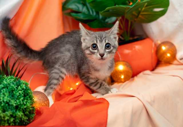 Отдам даром: Котенок Шарлотта яркая девочка в добрые