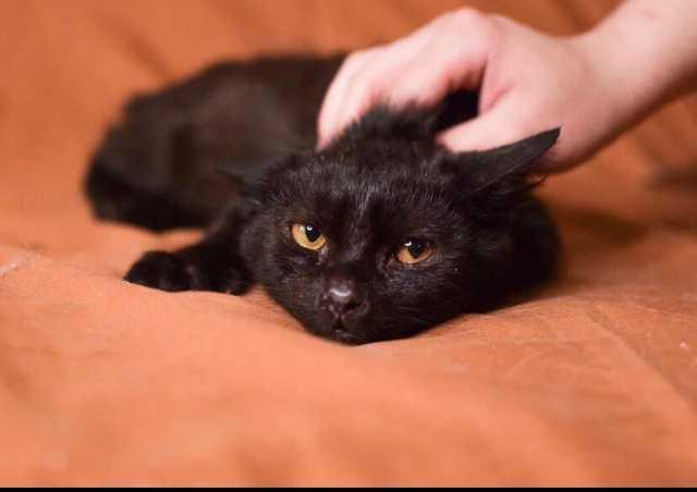 Отдам даром: Славный черный котенок Фараон ищет дом