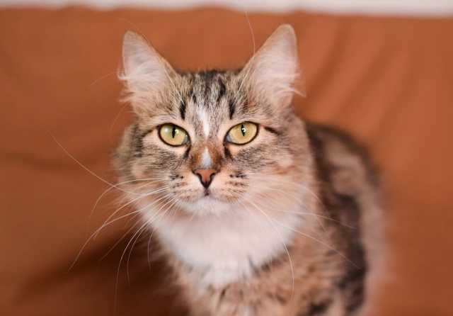 Отдам даром: Шикарная молодая кошечка Джина в дар