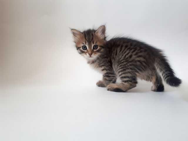 Продам: Сибирских котят