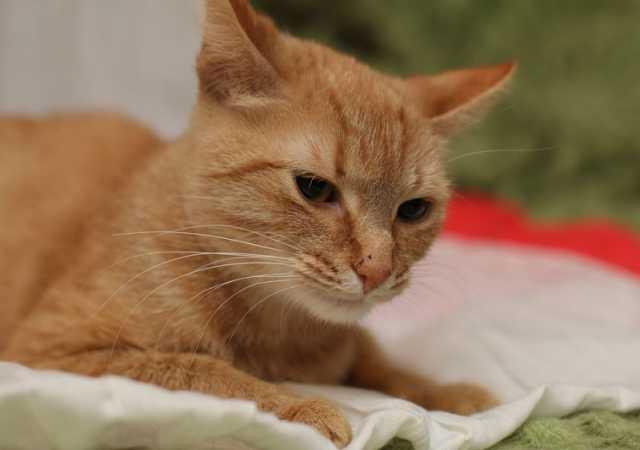 Отдам даром: Рыжая кошка в добрые руки
