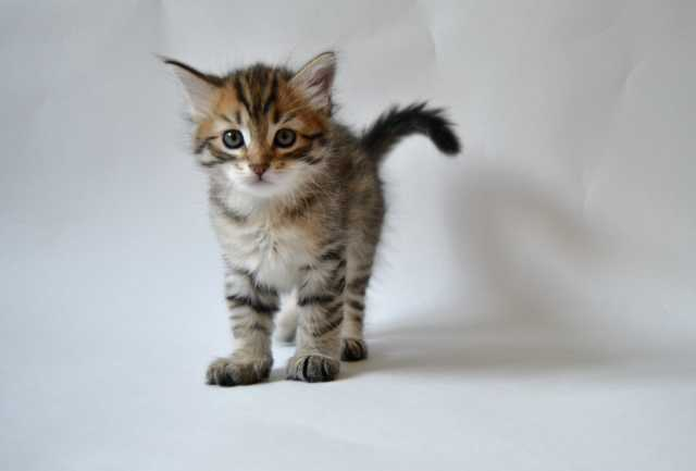 Продам: Сибирских котят с документами