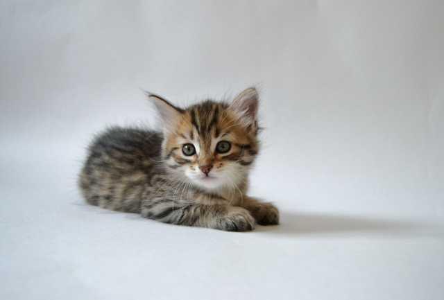 Продам: Сибирских котят из питомника