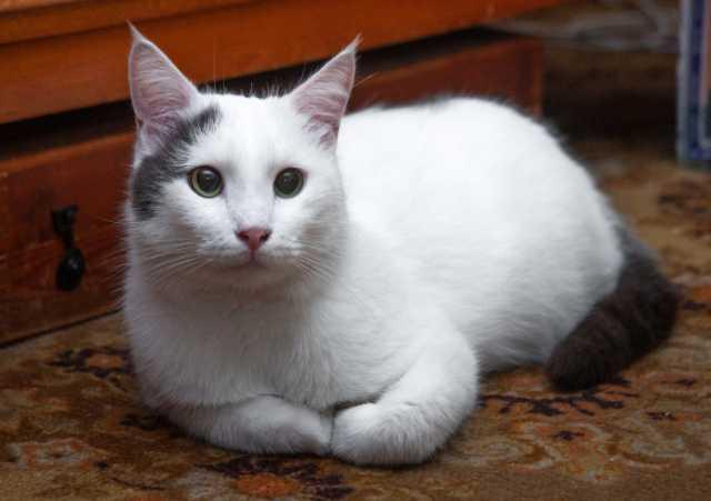 Отдам даром Симпатяга Урмас, кот-компаньон в добрые