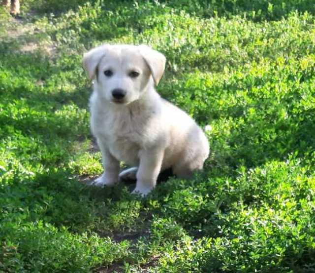 Продам: Крупные щенки в частный дом