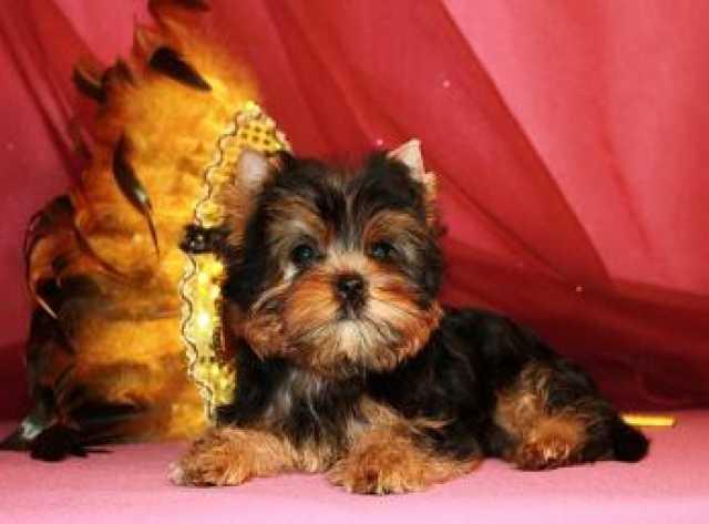 Продам: Йоркширского терьера щенки ,питомник