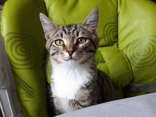 Отдам даром: чудесный домашний котенок Кузя в дар
