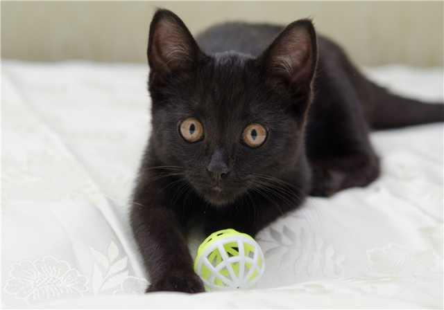 Отдам даром: Котенок Алиса в добрые руки!