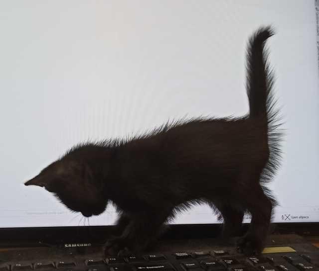 Отдам даром: Чёрная чудо-кошка с доставкой