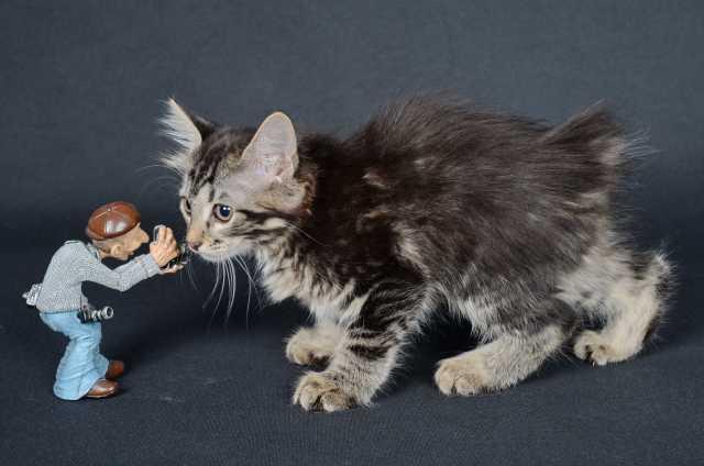 Продам: котята курильского бобтейла