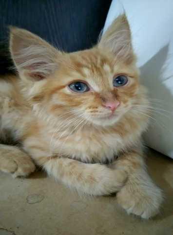 Отдам даром: Рыжий котенок