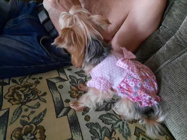 Продам: платье для маленькой собаки йорк