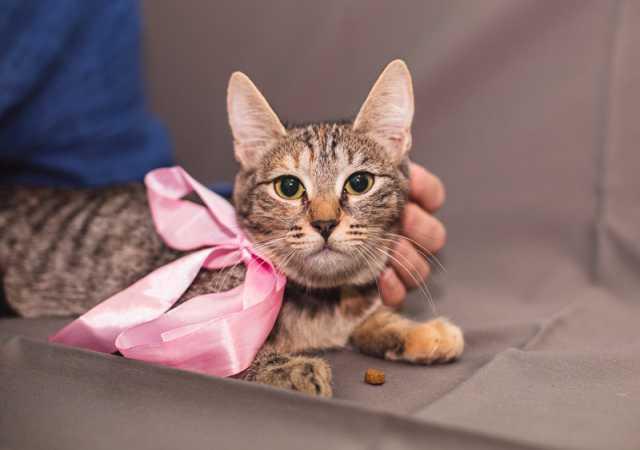 Отдам даром: Котенок окраса табби Маняша ищет дом