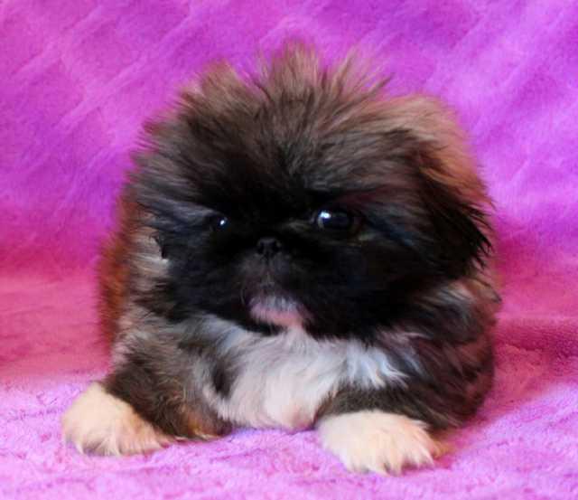 Продам: щенка пекинеса