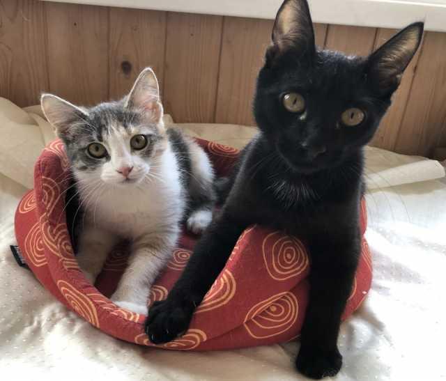 Отдам даром: Замечательные котята Бусинка и Ричард