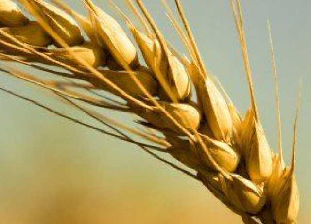 Продам: Семена озимой пшеницы на посевную 2020