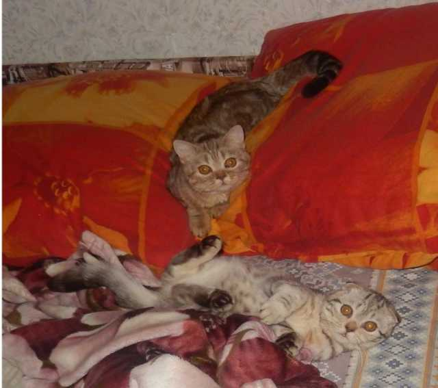 Продам: шотландских котят