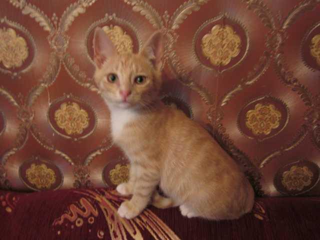 Отдам даром: Рыжий котенок-мальчик, 2 месяца