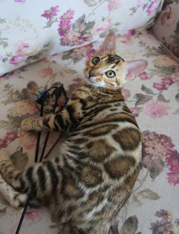Продам: Бенгальские котята - девочки