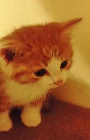 Продам: котенка