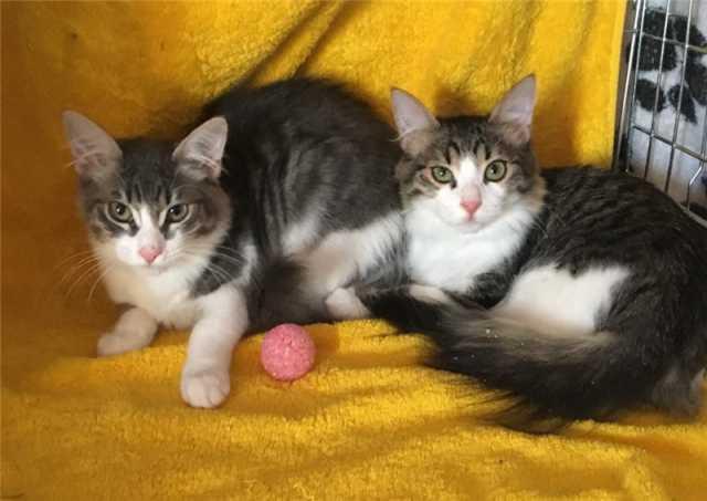 Отдам даром: Котята Сема и Сеня ищут дом