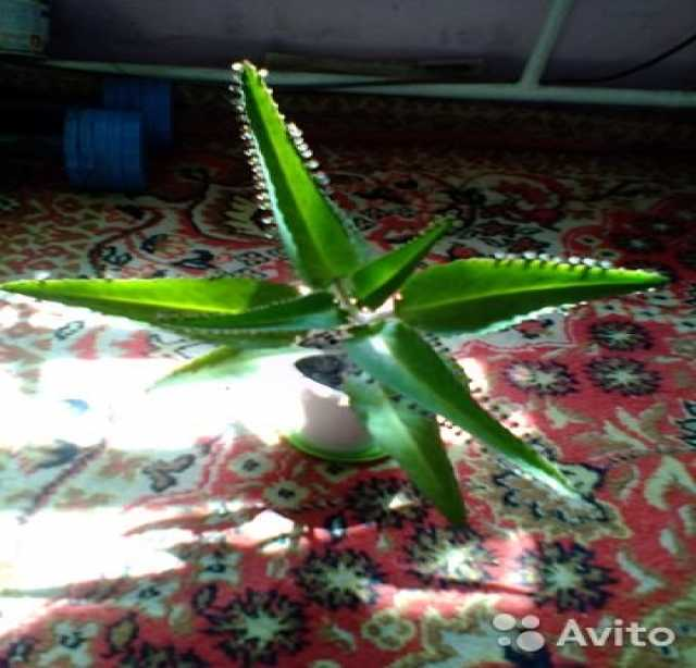 Продам: Растение