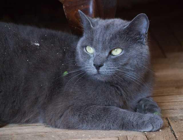 Отдам даром Русская голубая кошка Кристи ищет семью!