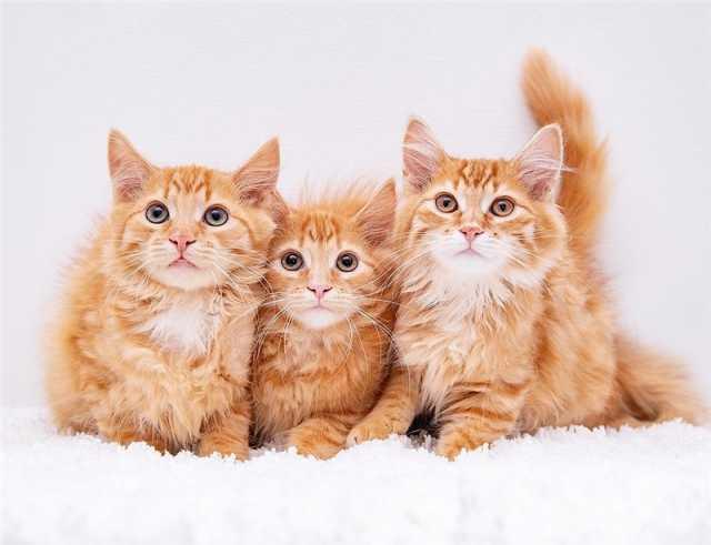 Отдам даром: Рыжие котята мальчики в добрые руки