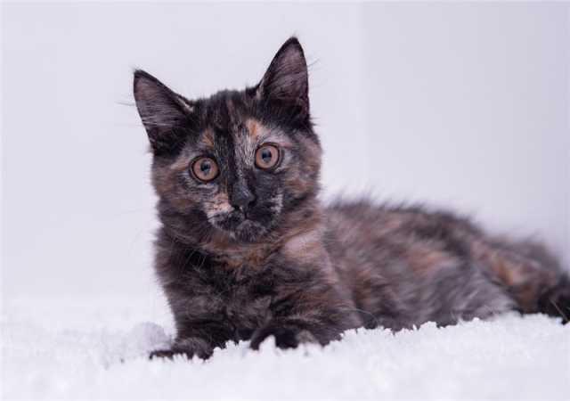 Отдам даром: Котёнок Даша в добрые руки