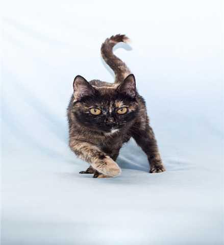 Отдам даром: Трёхцветная кошка в добрые руки