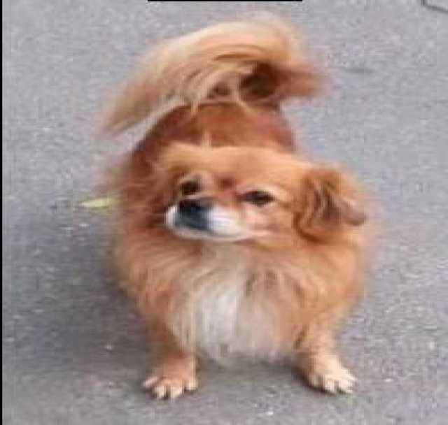 Куплю: щенка тибетского спаниеля