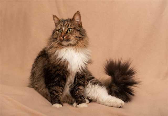 Отдам даром: Сибирский котик в добрые руки